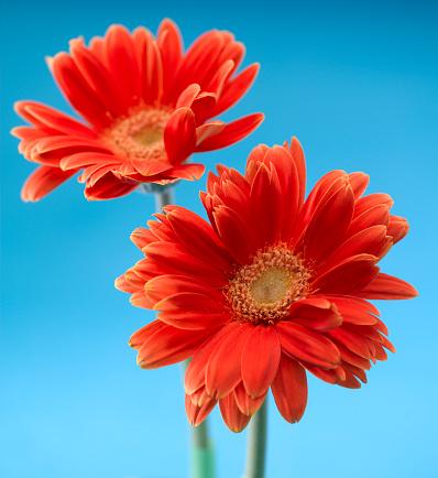 Dayflower「Daisy Flowers」:スマホ壁紙(11)