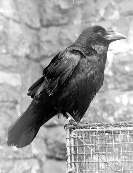 鳥「Tower Raven」:写真・画像(9)[壁紙.com]