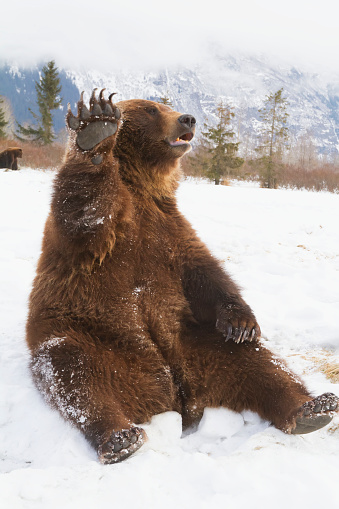 Waving「Captive brown bear (ursus arctos) sitting in snow and high fiving at the Alaska Wildlife Conservation Center in winter」:スマホ壁紙(18)