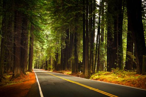 Sequoia Tree「Road through the huge Redwood trees」:スマホ壁紙(2)