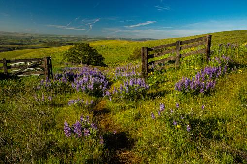 アケビ「Road through field of wildflowers, mostly lupine and balsom root, at their peak bloom in Columbia Hills State Park」:スマホ壁紙(1)