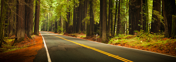 Humboldt Redwoods State Park「Road through the huge panoramic Redwood trees」:スマホ壁紙(4)