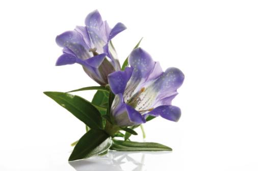 Gentian「Blue gentian flowers (Gentiana) close-up」:スマホ壁紙(1)