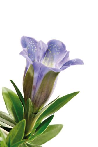 Gentian「Blue gentian flower (Gentiana) close-up」:スマホ壁紙(5)