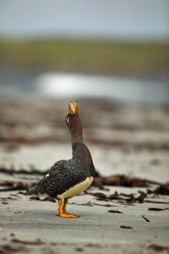 Singer「Steamer duck, Tachyeres brachypterus, Falkland Islands」:スマホ壁紙(13)