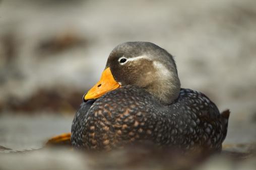 Falkland Islands「Steamer duck, Tachyeres brachypterus, resting, Falkland Islands」:スマホ壁紙(13)
