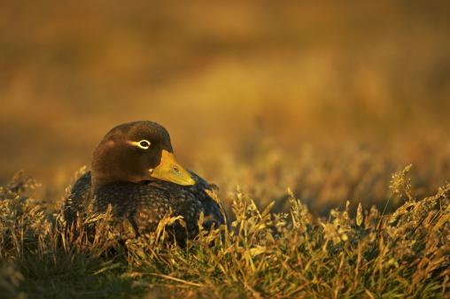 Falkland Islands「Steamer duck, Tachyeres brachypterus, resting in evening light, Falkland Islands」:スマホ壁紙(14)