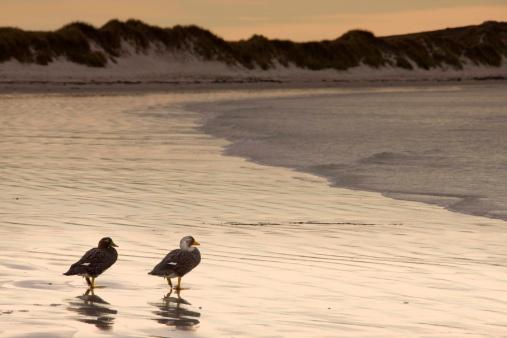 Falkland Islands「Steamer ducks on beach, Pebble Island, Falkland Islands」:スマホ壁紙(17)