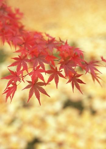 Japanese Maple「Autumn color of leaves」:スマホ壁紙(7)