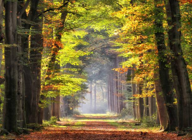 Autumn colored leaves glowing in sunlight in avenue of beech trees:スマホ壁紙(壁紙.com)
