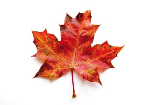 かえでの葉「Autumn colored maple leaf」:スマホ壁紙(7)