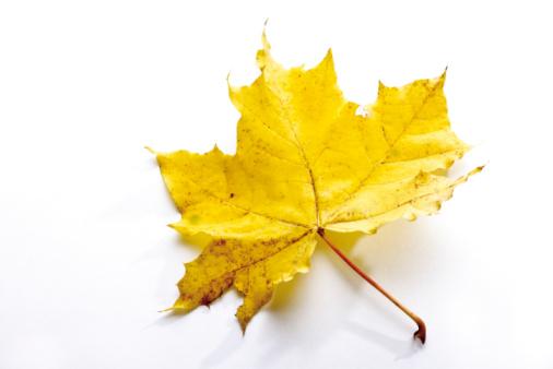 かえでの葉「Autumn colored maple leaf」:スマホ壁紙(19)