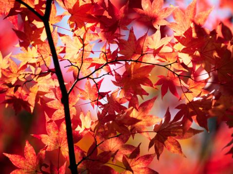 Japanese Maple「Autumn Colors」:スマホ壁紙(8)