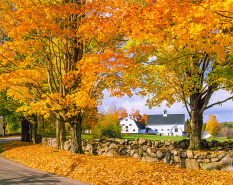 Sugar maple「Autumn colors with farm in the White Mountains, NH」:スマホ壁紙(19)