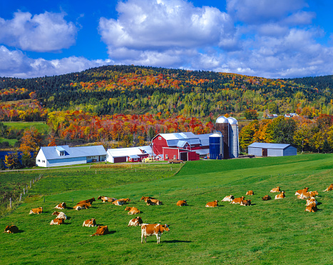 Domestic Cattle「Autumn colors with farm in the Green Mountains, VT」:スマホ壁紙(8)