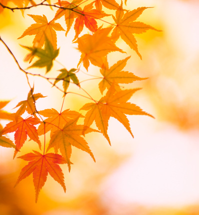 Japanese Maple「Autumn Colors」:スマホ壁紙(19)