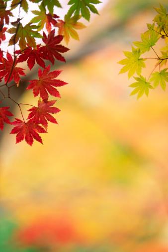 Japanese Maple「Autumn Colors」:スマホ壁紙(15)