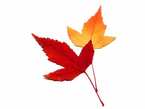 カエデ「秋の色」:スマホ壁紙(19)