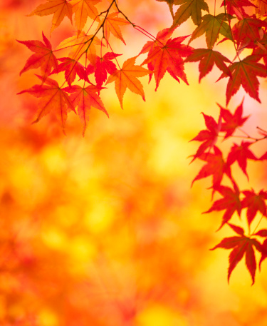Japanese Maple「Autumn Colors」:スマホ壁紙(6)