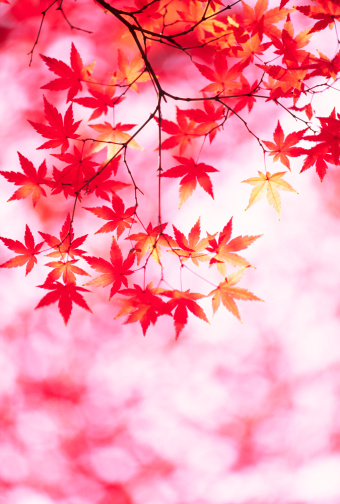Japanese Maple「Autumn Colors」:スマホ壁紙(14)