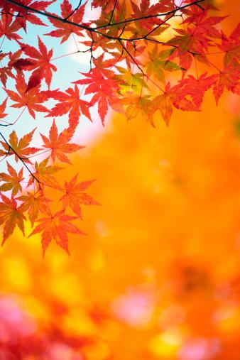 Japanese Maple「Autumn Color」:スマホ壁紙(8)