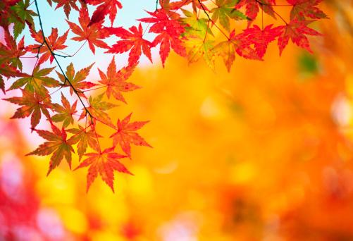 Japanese Maple「Autumn Colors」:スマホ壁紙(18)