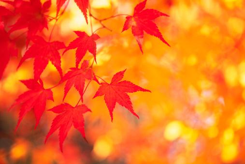 Japanese Maple「Autumn Colors」:スマホ壁紙(5)