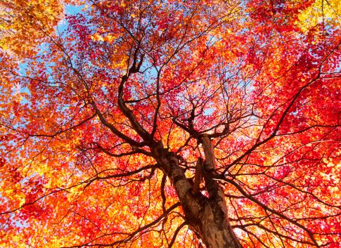 紅葉「秋の色」:スマホ壁紙(5)