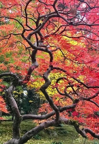 Japanese Maple「Autumn color, Japanese Maple trees, Seattle, Washington」:スマホ壁紙(13)