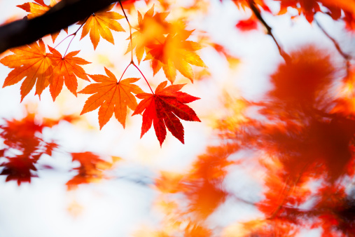 Japanese Maple「Autumn Colors」:スマホ壁紙(19)