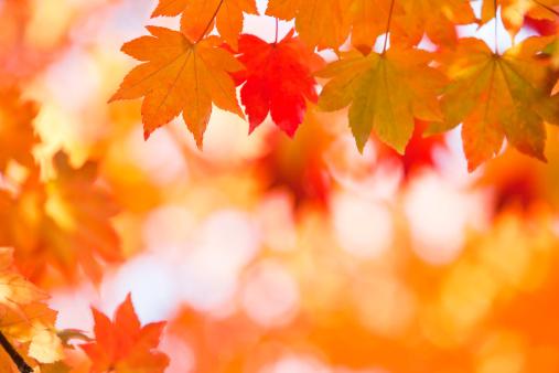 Japanese Maple「Autumn Colors」:スマホ壁紙(1)