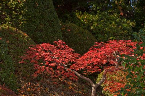 Japanese Maple「Autumn colors at temple」:スマホ壁紙(9)