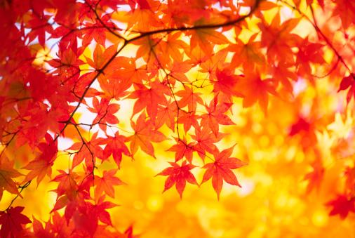 紅葉「秋の色」:スマホ壁紙(19)