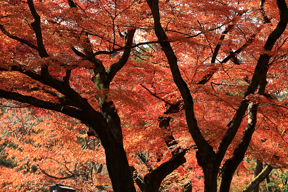 秋「People Enjoy Autumn Colors In Kyoto」:写真・画像(11)[壁紙.com]