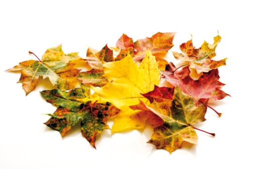 かえでの葉「Autumn colored maple leaves」:スマホ壁紙(7)