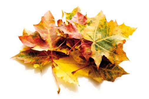 紅葉「Autumn colored maple leaves」:スマホ壁紙(17)