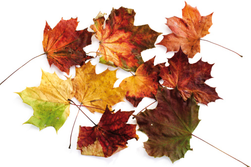 Maple Leaf「Autumn colored maple leaves, close-up」:スマホ壁紙(14)