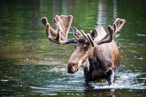 Anchorage - Alaska「Male Alaska moose (Alces alces gigas) in Sand Lake, Anchorage, Alaska, USA」:スマホ壁紙(3)