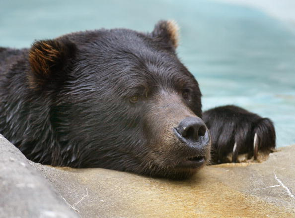 動物「Bears Relax At Zoo On First Full Day Of Fall」:写真・画像(15)[壁紙.com]