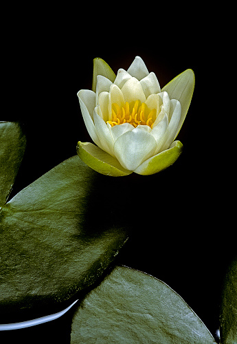 Water Lily「Nymphaea candida (water lily)」:スマホ壁紙(17)