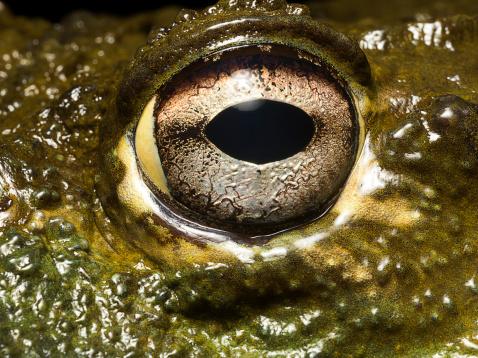 Iris - Eye「Bullfrog's eye, close up」:スマホ壁紙(4)