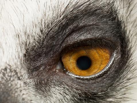 Eyesight「Lemur's eye, close up」:スマホ壁紙(15)