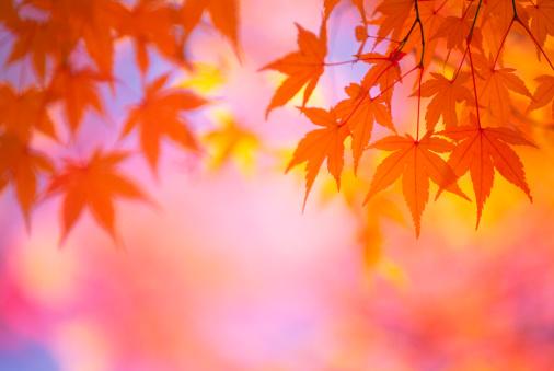 Japanese Maple「Autumn Orange Leaves」:スマホ壁紙(10)