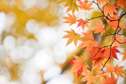 Japanese Maple「Autumn Orange Leaves」:スマホ壁紙(17)