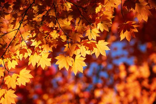 Maple「Autumn Orange Leaves」:スマホ壁紙(18)