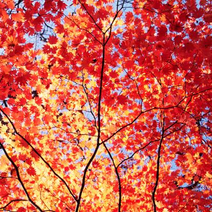 紅葉「オータムオレンジの葉」:スマホ壁紙(8)
