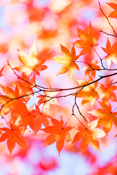 Autumn Orange Leaves With Morning Sunlight:スマホ壁紙(壁紙.com)