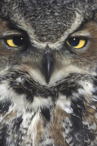 Frowning「great horned owl, bubo virginianus」:スマホ壁紙(8)