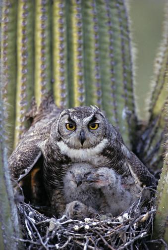 Horned「Great Horned Owl, Bubo virginianus, on nest with chicks in saguaro cactus, Arizona, USA」:スマホ壁紙(0)