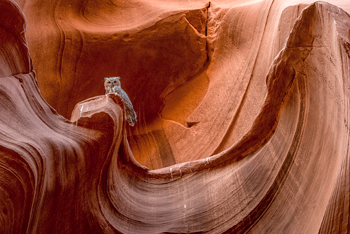 Indigenous Culture「Great Horned Owl, Owl Canyon, Arizona」:スマホ壁紙(14)